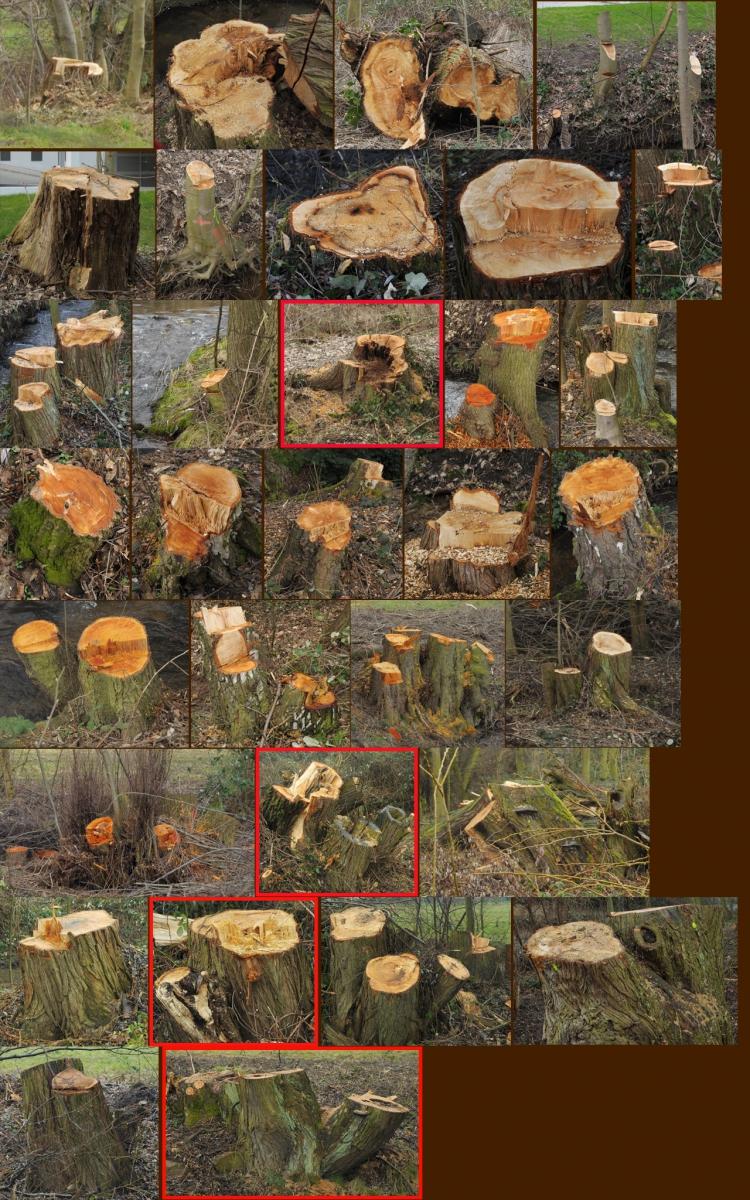 Baumfällung-Bechtwiese.jpg